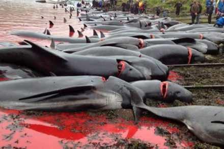 Massacre de dauphins aux iles Féroé